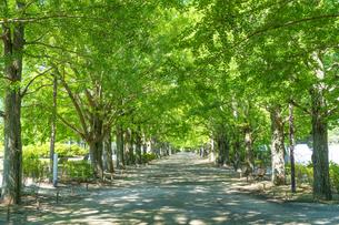東京都 昭和記念公園 並木道の写真素材 [FYI04625292]