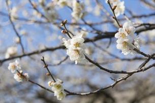 梅の花の写真素材 [FYI04625373]