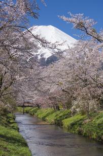 忍野村の桜と富士山の写真素材 [FYI04625459]