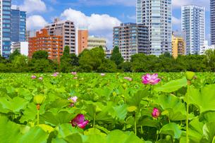 蓮の花咲く上野公園・不忍池の写真素材 [FYI04625495]