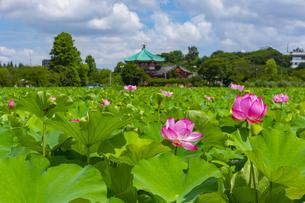 蓮の花咲く上野公園・不忍池の写真素材 [FYI04625496]