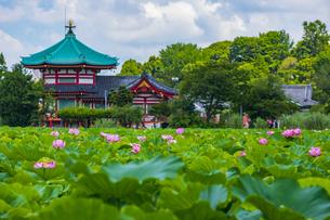 蓮の花咲く上野公園・不忍池の写真素材 [FYI04625497]
