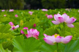 上野公園・不忍池に咲く蓮の花の写真素材 [FYI04625503]