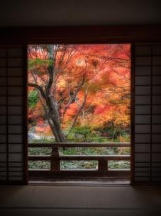 京都 宝筐院本堂の室内から見た庭園の紅葉の写真素材 [FYI04625517]