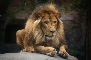 ライオンの写真素材 [FYI04625522]