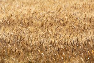 黄金色の麦畑の写真素材 [FYI04625615]