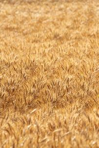 黄金色の麦畑の写真素材 [FYI04625616]
