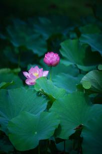 蓮の花の写真素材 [FYI04625885]