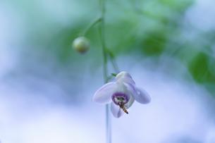 レンゲショウマと蜂の写真素材 [FYI04625891]