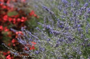 ロシアンセージの花畑の写真素材 [FYI04626129]
