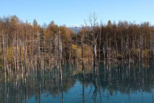 秋の青い池のカラマツ林から見える十勝岳の写真素材 [FYI04626187]