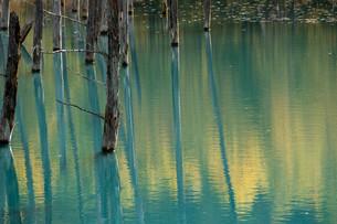 秋の黄葉を映す青い池の水面 美瑛町の写真素材 [FYI04626189]