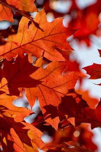 赤く色づいたアカナラの葉の写真素材 [FYI04626191]