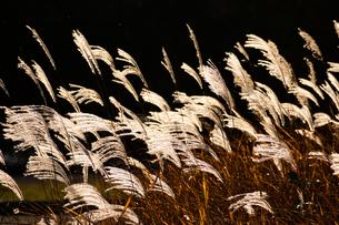 夕日に輝くススキの穂の写真素材 [FYI04626192]