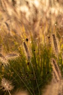 夕日に輝くキンエノコログサの穂の写真素材 [FYI04626194]