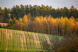黄葉のシラカバ林と丘陵畑作地帯の写真素材 [FYI04626195]