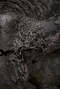 ハワイ島の溶岩と植物の写真素材 [FYI04626511]