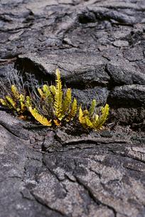 ハワイ島の溶岩と植物の写真素材 [FYI04626515]