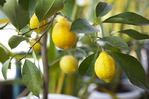 庭で育ったレモンの実の写真素材 [FYI04626562]