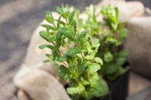 庭で育つペパーミントの写真素材 [FYI04626567]