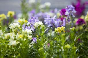 庭に咲く花々の写真素材 [FYI04626578]