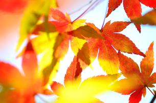 紅や黄色に色づくモミジの写真素材 [FYI04626589]