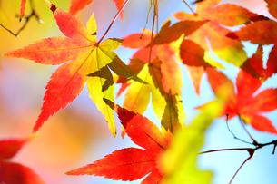 紅や黄色に色づくモミジの写真素材 [FYI04626591]