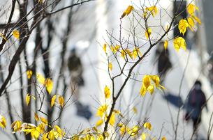 黄色に色づく街路樹の写真素材 [FYI04626599]