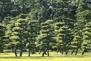 皇居外苑の松の写真素材 [FYI04626649]