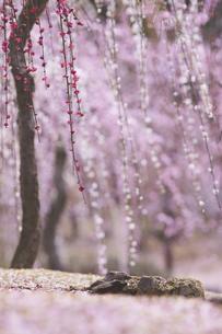 梅の花の写真素材 [FYI04626840]