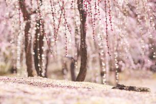 梅の花の写真素材 [FYI04626841]
