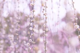 梅の花の写真素材 [FYI04626843]