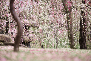 梅の花の写真素材 [FYI04626851]