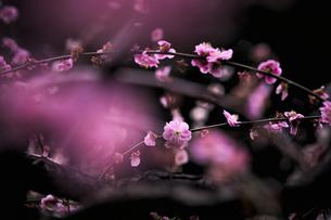 梅の花の写真素材 [FYI04626852]