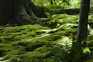 苔が生い茂る森林の写真素材 [FYI04626854]