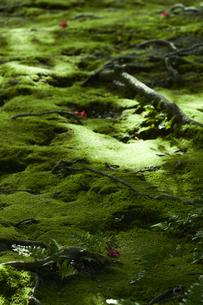 苔が生い茂る森林の写真素材 [FYI04626855]