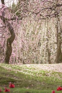 梅の花の写真素材 [FYI04626860]