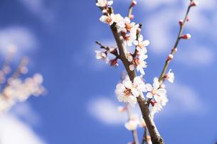 梅の花と青空の写真素材 [FYI04626867]