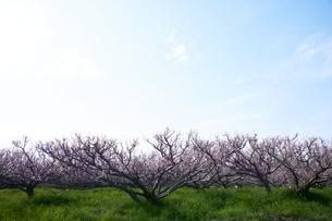 梅の並木の写真素材 [FYI04626874]