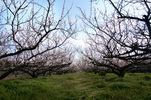 梅の並木の写真素材 [FYI04626875]