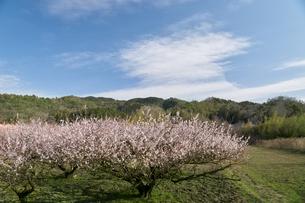 梅の並木の写真素材 [FYI04626878]