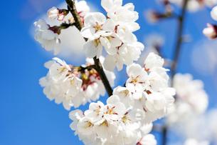 桜と青空の写真素材 [FYI04627011]