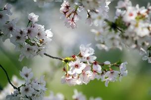 桜の写真素材 [FYI04627013]