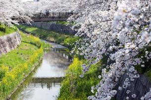 山崎川の桜の写真素材 [FYI04627018]