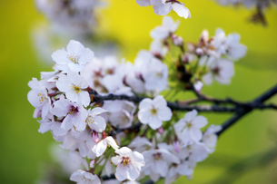 桜と菜の花ボケバックの写真素材 [FYI04627020]