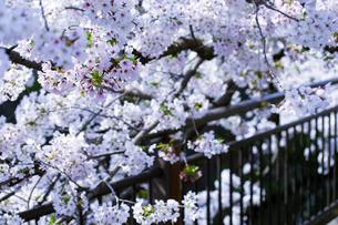 桜と柵の写真素材 [FYI04627022]