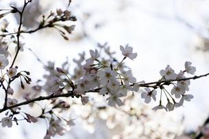 桜の写真素材 [FYI04627031]