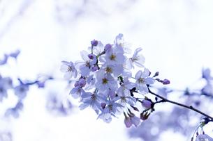 桜の写真素材 [FYI04627033]