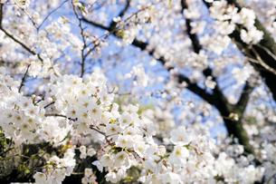 桜の写真素材 [FYI04627035]