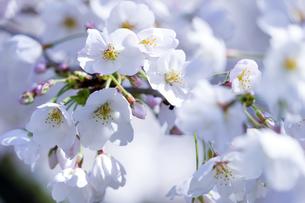 桜の写真素材 [FYI04627037]